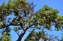 L'albero da frutto selvaggio Fotografie Stock Libere da Diritti