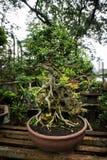 L'albero dei bonsai in un vaso fatto da argilla per le piante decorative vende al venditore Jakarta contenuta foto Indonesia dell fotografia stock libera da diritti