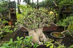 L'albero dei bonsai in un vaso fatto da argilla per le piante decorative vende al venditore Jakarta contenuta foto Indonesia dell fotografie stock
