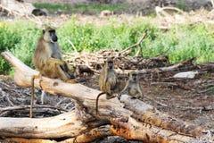 L'albero del babbuino dentro nella sosta nazionale di Nakuru del lago. Fotografie Stock Libere da Diritti