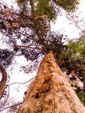 L'albero del cielo Fotografie Stock Libere da Diritti