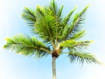 L'albero del cocco Fotografie Stock