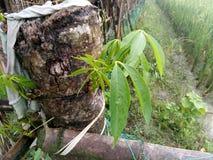 L'albero del dado Fotografie Stock