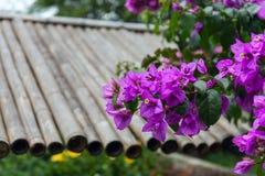 L'albero del fiore ha chiamato comunemente Santa Rita o Flor de papel Glabra della buganvillea, poco la buganvillea o paperflower fotografia stock libera da diritti