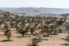 L'albero del franchincenso pianta il deserto crescente dell'agricoltura di plantage vicino a Salalah Oman 4 fotografia stock libera da diritti