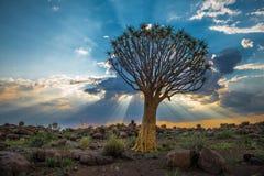 L'albero del fremito, o dichotoma dell'aloe, Keetmanshoop, Namibia Fotografia Stock
