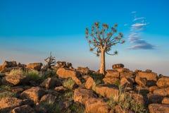 L'albero del fremito, o dichotoma dell'aloe, Namibia Fotografia Stock Libera da Diritti