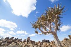 L'albero del fremito, o dichotoma dell'aloe, nel campo da giuoco di Giant's, Immagine Stock