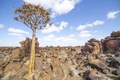 L'albero del fremito, o dichotoma dell'aloe, nel campo da giuoco di Giant's, Fotografia Stock Libera da Diritti