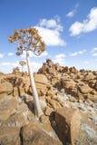 L'albero del fremito, o dichotoma dell'aloe, nel campo da giuoco di Giant's, Immagini Stock