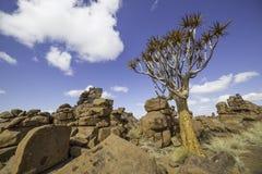 L'albero del fremito, o dichotoma dell'aloe, o Kokerboom, in Namibia Fotografie Stock Libere da Diritti