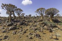 L'albero del fremito, o dichotoma dell'aloe, o Kokerboom, in Namibia Immagine Stock Libera da Diritti