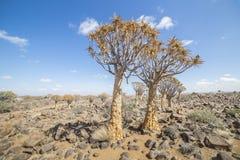 L'albero del fremito, o dichotoma dell'aloe, o Kokerboom, in Namibia Immagini Stock