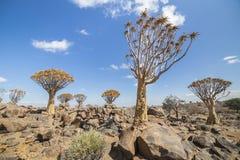 L'albero del fremito, o dichotoma dell'aloe, o Kokerboom, in Namibia Fotografia Stock
