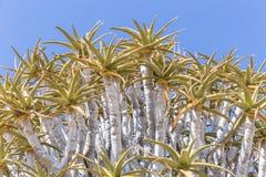 L'albero del fremito, o dichotoma dell'aloe, o Kokerboom, in Namibia Fotografia Stock Libera da Diritti