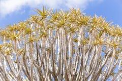 L'albero del fremito, o dichotoma dell'aloe, o Kokerboom, in Namibia Immagini Stock Libere da Diritti