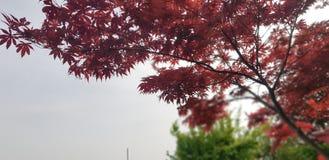 L'albero del Giappone è la pace sulla terra fotografia stock