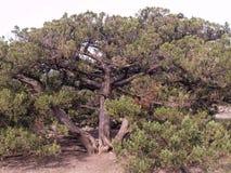 L'albero del ginepro Immagine Stock