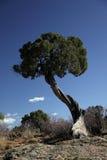 L'albero del ginepro a GrandCanyon trascura Fotografia Stock