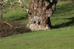 L'albero del gufo nel giardino di Stourhead, Inghilterra Fotografie Stock Libere da Diritti