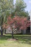 L'albero del Myrtle di Crape completamente ha fiorito in primavera Fotografie Stock Libere da Diritti