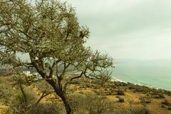 L'albero dell'argania spinosa dell'altezza del montain Fotografie Stock