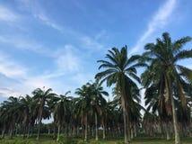 L'albero dell'olio di palma fotografie stock