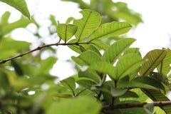 L'albero della guaiava lascia la vista fotografia stock