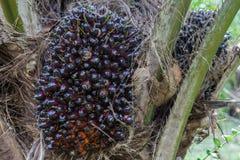 L'albero della palma da olio ed il suo mazzo nella palma fanno il giardinaggio Fotografia Stock