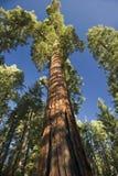 L'albero della sequoia gigante Immagini Stock