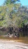L'albero della sirena fotografia stock