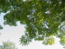 L'albero delle foglie verdi è un fondo fotografia stock