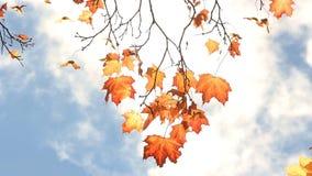 L'albero di acero con giallo e l'arancia lascia nel vento in un parco soleggiato archivi video