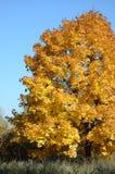 L'albero di acero con giallo lascia nell'autunno in natura sui precedenti di cielo blu fotografia stock