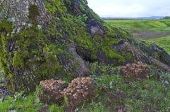 L'albero di acero con il fungo ragruppa alla base dell'albero Immagine Stock Libera da Diritti