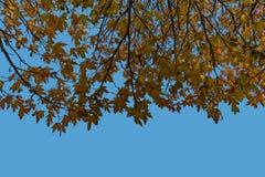 L'albero di acero copre di foglie contro un cielo blu immagini stock