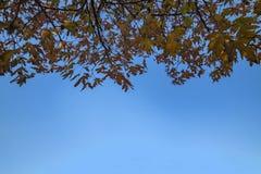 L'albero di acero copre di foglie su cielo blu immagini stock
