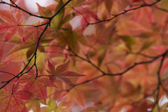 L'albero di acero del tempio del Giappone Nikko Rinnoji nella caduta colora il primo piano Fotografia Stock Libera da Diritti