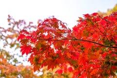 L'albero di acero ha un colore del cambiamento della foglia sull'albero, gli alberi di acero variopinti, stagione rossa delle fog Fotografia Stock Libera da Diritti