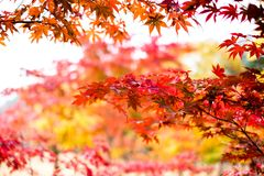 L'albero di acero rosso di autunno va, alberi di acero variopinti, stagione rossa delle foglie di autunno nel parco di autunno, s Fotografie Stock Libere da Diritti