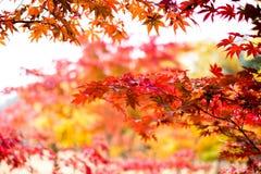L'albero di acero rosso di autunno va, alberi di acero variopinti, stagione rossa delle foglie di autunno nel parco di autunno, s Immagine Stock