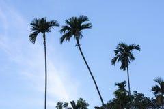 L'albero di areca catechu sta stando a così su immagine stock libera da diritti