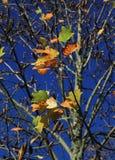 L'albero di Autum Immagini Stock Libere da Diritti