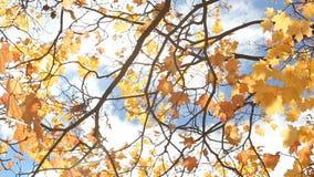 L'albero di autunno con rosso e l'arancia va sui precedenti di cielo blu e delle nuvole luminosi video d archivio