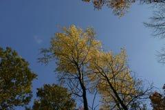 L'albero di autunno principale 01 fotografie stock libere da diritti