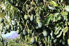 L'albero di avocado, persea americana Fotografia Stock