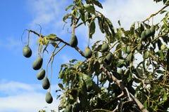L'albero di avocado, persea americana Immagine Stock