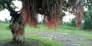 L'albero di banyan pianta e struttura la carta da parati del fondo della natura, Fotografie Stock Libere da Diritti
