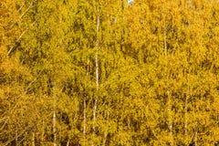 L'albero di betulla di autunno lascia il fondo immagine stock
