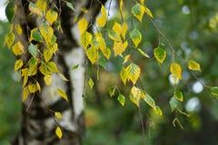 L'albero di betulla lascia nell'autunno fotografia stock